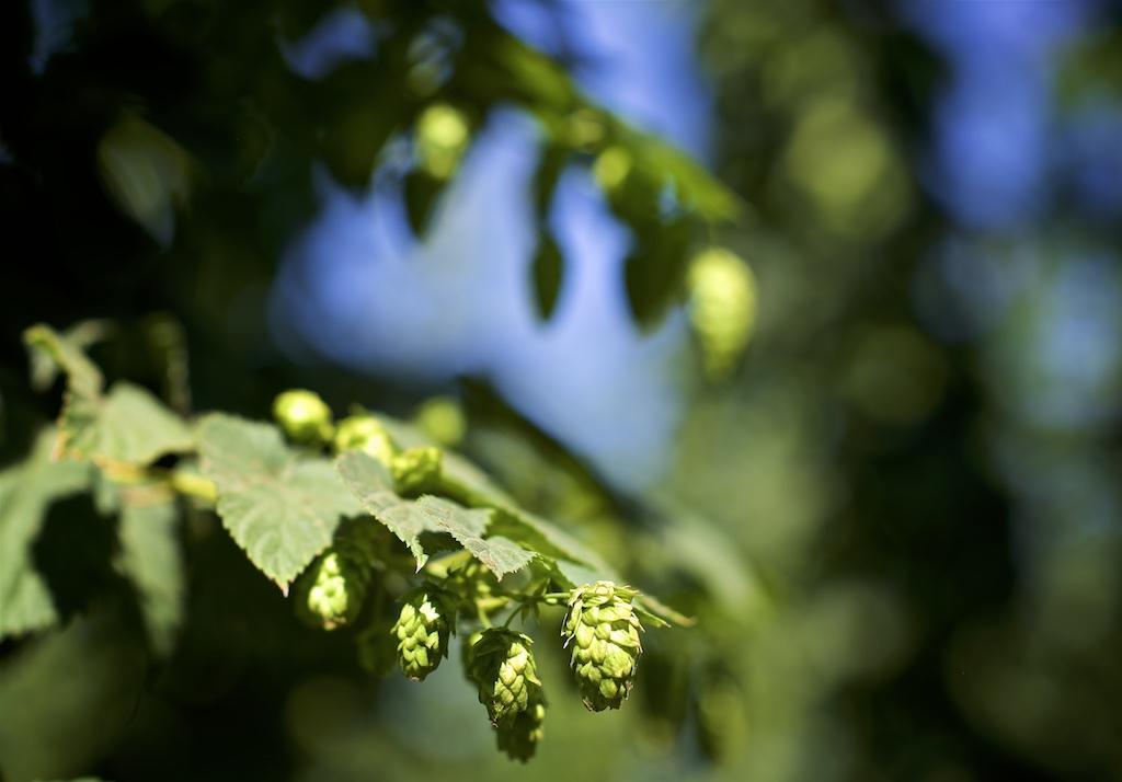 hops at goschie farms
