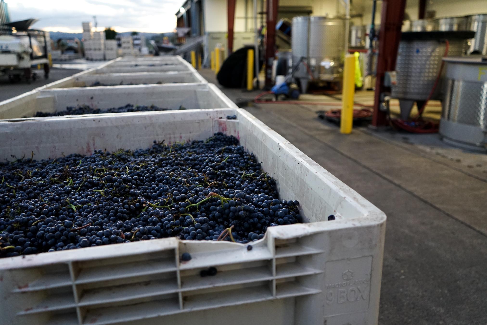 Underwood Pinot Noir Nouveau grapes